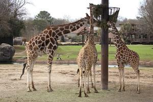 Three Giraffes Eating High by Carol Highsmith