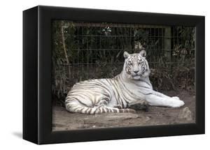 White Tiger by Carol Highsmith