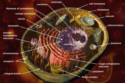 Biomedical Illustration of a Generalized Animal Cell Section Showing its Major Organelles Labeled by Carol & Mike Werner