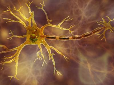 Biomedical Illustration of a Neuron, Showing the Dendrites, Cell Body, and Axon by Carol & Mike Werner