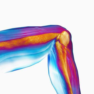 Human Knee Hinge Joint Showing Bones and Muscles by Carol & Mike Werner
