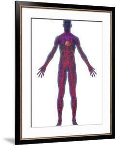 Human Male Figure Showing the Circulatory or Cardiovascular System by Carol & Mike Werner