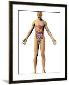Human Male Figure Showing the Endocrine System by Carol & Mike Werner