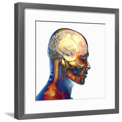 Human Male Head Showing Brain, Skull and Muscles