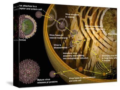 Illustration of Replication of Flavivirus in Host Cell