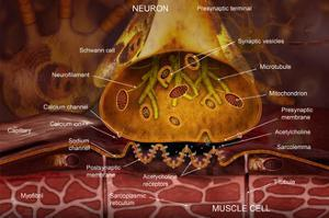 Neuromuscular Junction Illustration of the Junction Between a Motor Neuron and a Skeletal Muscle by Carol & Mike Werner