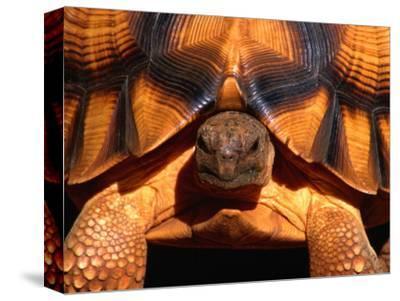 Angonoka or Ploughshare Tortoise, Madagascar