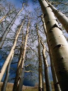 Aspen Trees in Spring, Utah, Utah, USA by Carol Polich