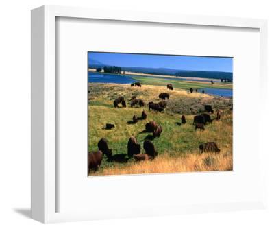 Bison (Bison Bison) Herd in Hayden Valley, Yellowstone National Park, Wyoming, USA