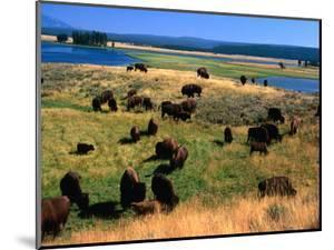 Bison (Bison Bison) Herd in Hayden Valley, Yellowstone National Park, Wyoming, USA by Carol Polich