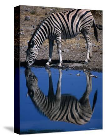 Burchell's Zebra Drinking at Water-Hole, Etosha National Park, Kunene, Namibia