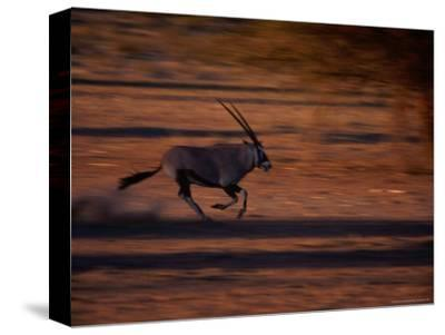 Gemsbok or South African Oryx on the Run, Kgalagadi Transfrontier Park, Northern Cape, South Africa
