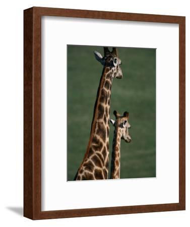 Giraffes, Tala Private Game Reserve, Kwazulu-Natal, South Africa
