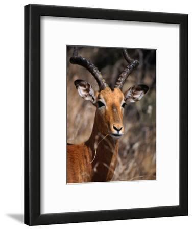 Impala Buck, Kruger National Park, Kruger National Park, Mpumalanga, South Africa