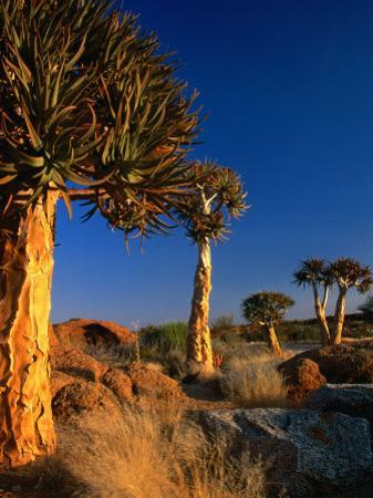 Quiver Trees, Namaqualand, South Africa