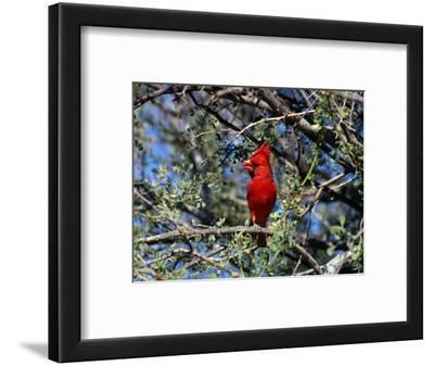 Red Cardinal in Arizona