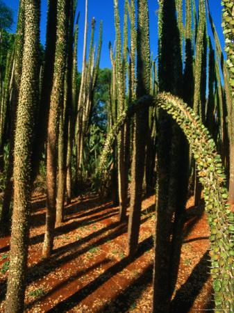 Spiny Forest in the Berenty Reserve, Berenty,Toliara, Madagascar