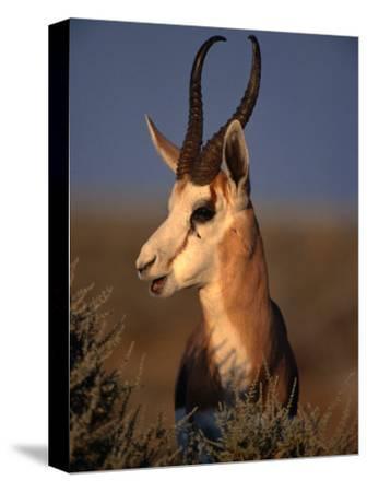 Springbok, Etosha National Park,Kunene, Namibia