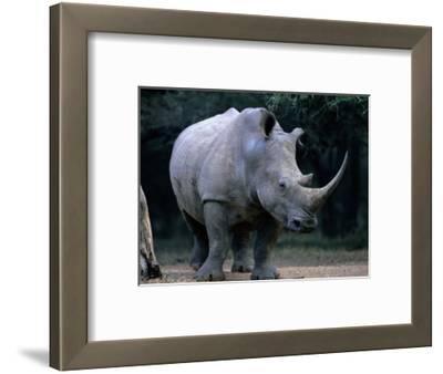 White Rhinoceros, Mkuzi Game Reserve, Mkuzi Game Reserve, Kwazulu-Natal, South Africa