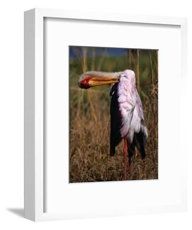 Yellow-Billed Stork, Kruger National Park, Kruger National Park, Mpumalanga, South Africa