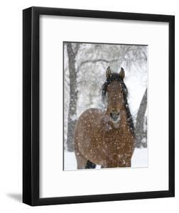 Bay Andalusian Stallion Portrait with Falling Snow, Longmont, Colorado, USA by Carol Walker