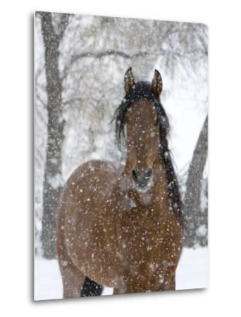 Bay Andalusian Stallion Portrait with Falling Snow, Longmont, Colorado, USA