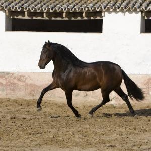 Bay Andalusian Stallion Trotting in Arena Yard, Osuna, Spain by Carol Walker