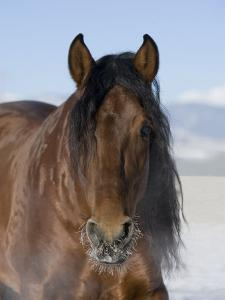 Bay Andalusian Stallion, with Hairs on Nose Frozen, Longmont, Colorado, USA by Carol Walker