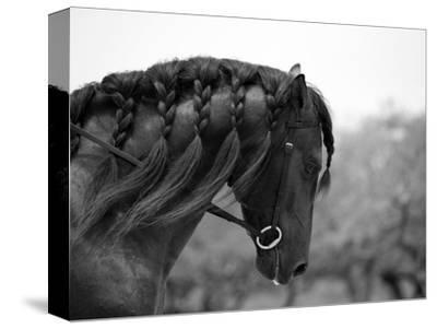 Bay Andalusian Stallion, with Plaited Mane and Bridle, Austin Texas, USA
