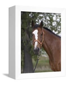Bay Thoroughbred Gelding with Headcollar and Lead Rope, Fort Collins, Colorado, USA by Carol Walker