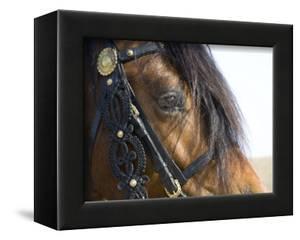 Bay Welsh Cobb Stallion, Close Up of Eye, Ojai, California, USA by Carol Walker