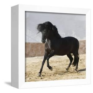 Black Andalusian Stallion Cantering in Arena Yard, Osuna, Spain by Carol Walker
