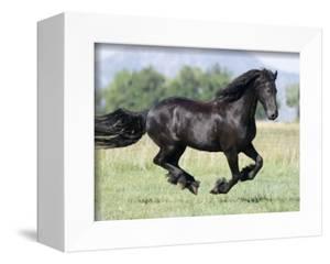 Black Friesian Gelding Running in Field, Longmont, Colorado, USA by Carol Walker