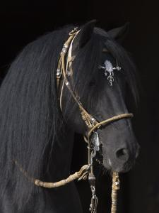 Black Peruvian Paso Stallion in Traditional Peruvian Bridle, Sante Fe, New Mexico, USA by Carol Walker