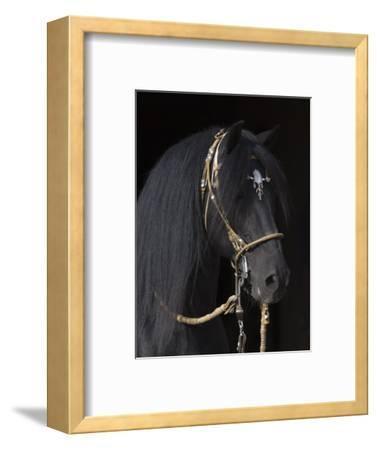 Black Peruvian Paso Stallion in Traditional Peruvian Bridle, Sante Fe, New Mexico, USA
