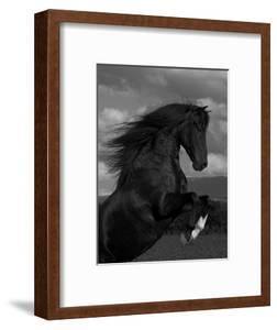 Black Peruvian Paso Stallion Rearing, Sante Fe, NM, USA by Carol Walker