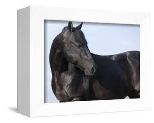 Black Quarter Horse Stallion, Longmont, Colorado, USA by Carol Walker