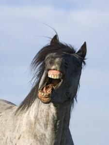 Blue Roan Wild Stallion Yawning, Pryor Mountains, Montana, USA by Carol Walker