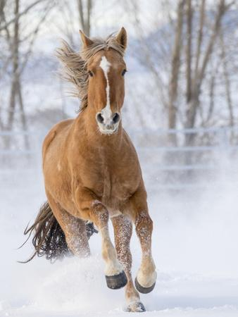 Chestnut Mustang Running In Snow, At Ranch, Shell, Wyoming, USA. February