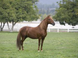 Chestnut Paso Fino Stallion, Ojai, California, USA by Carol Walker