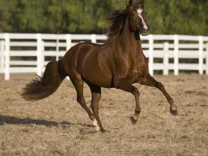 Chestnut Peruvian Paso Stallion Cantering in Field, Ojai, California, USA by Carol Walker