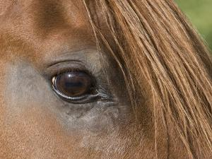 Close Up of Eye of Chestnut Peruvian Paso Stallion, Sante Fe, New Mexico, USA by Carol Walker