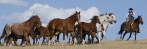 Cowboy Herding Quarter Horse Mares and Foals, Flitner Ranch, Shell, Wyoming, USA by Carol Walker
