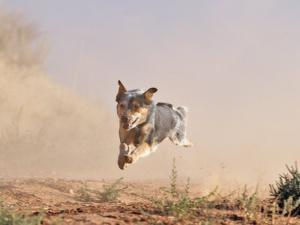 Cowdog Taking a Flying Leap, Flitner Ranch, Shell, Wyoming, USA by Carol Walker