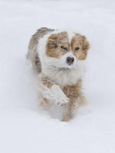 Female Red Merle Australian Shepherd Dog Running in Snow, Longmont, Colorado, USA by Carol Walker