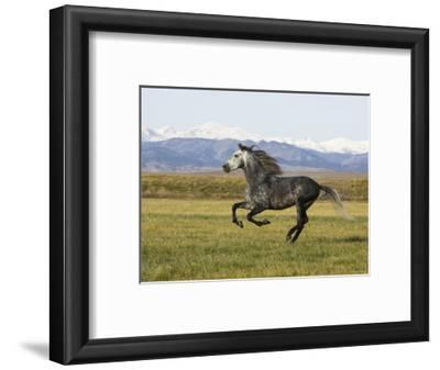 Gray Andalusian Stallion, Cantering Profile, Longmont, Colorado, USA