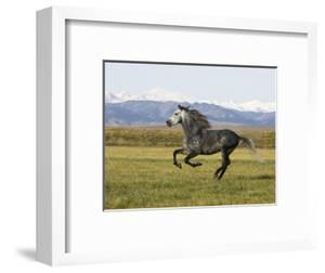 Gray Andalusian Stallion, Cantering Profile, Longmont, Colorado, USA by Carol Walker