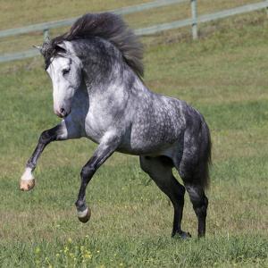 Gray Andalusian Stallion Running, Ojai, California, USA by Carol Walker