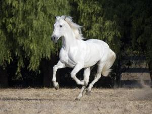Grey Andalusian Stallion Cantering in Field, Ojai, California, USA by Carol Walker