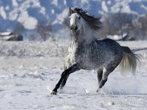 Grey Andalusian Stallion Cantering in Snow, Longmont, Colorado, USA by Carol Walker